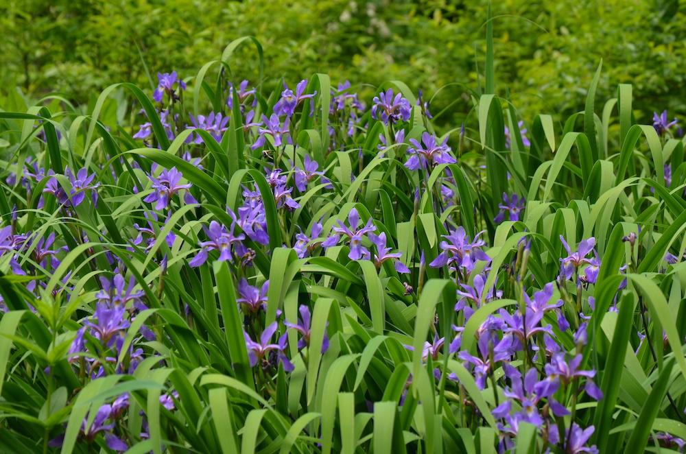 Iris versicolor 'Purple Flame' (Mt. Cuba Center)