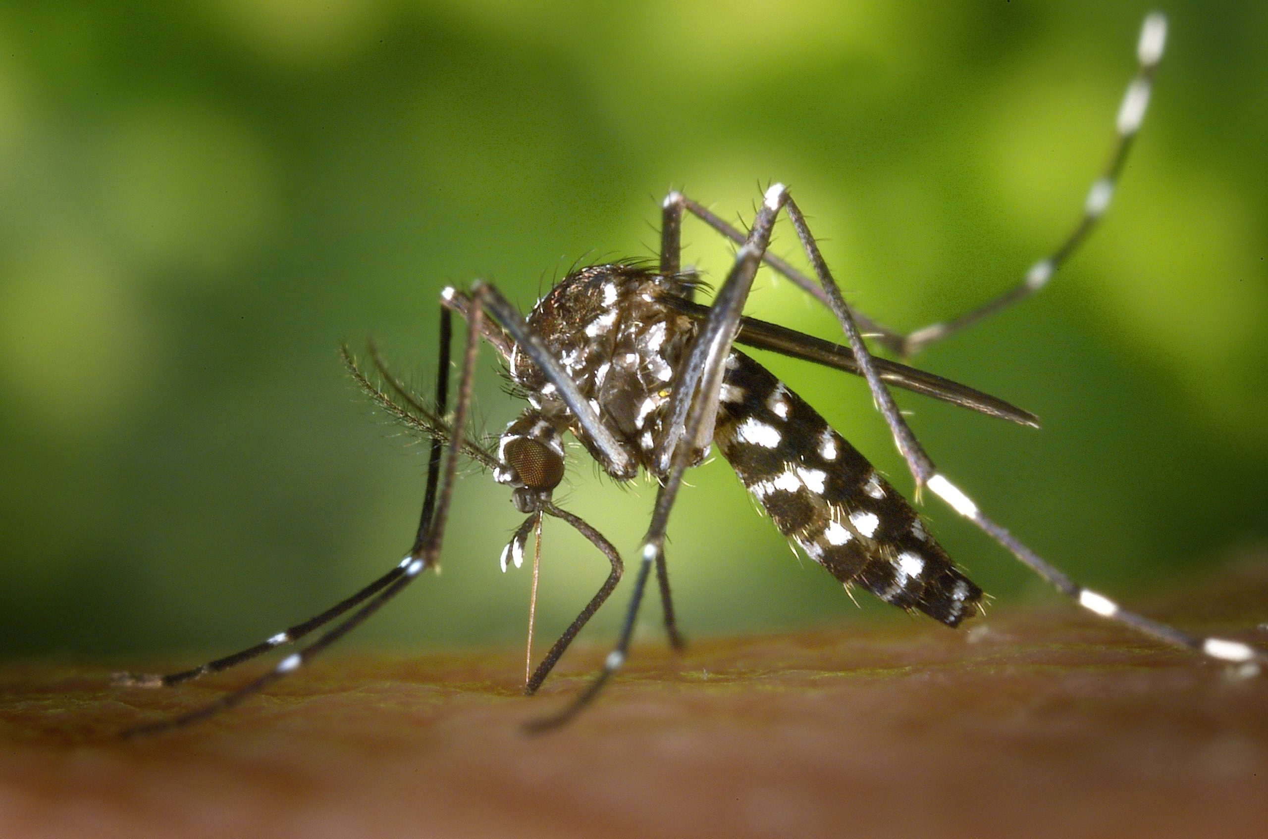 """Featured image for """"West Nile virus found in Delaware chickens infected by mosquitoes"""""""