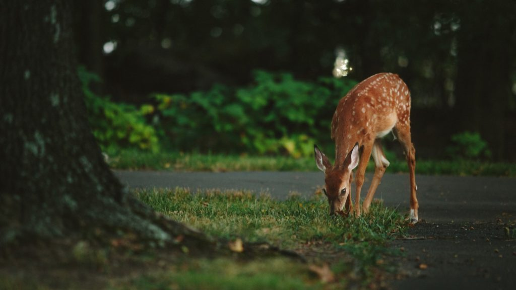 a deer eating grass on a sunny day